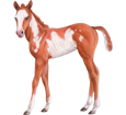 Paint horse ##STADE## - mantello 35
