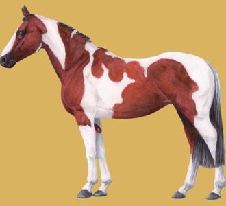 Accogli un cavallo di razza paint horse