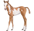 Paint horse ##STADE## - mantello 5